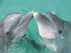 This picture represents a water park called Dolphin cove in Jamaica. Its really fun you get to swim with dolphins and stingrays as as well as go on speed boats. Lovely Creatures, Sea Creatures, Bottlenose Dolphin, Water Animals, Marine Life, Animals Beautiful, Adorable Animals, Under The Sea, Dolphins