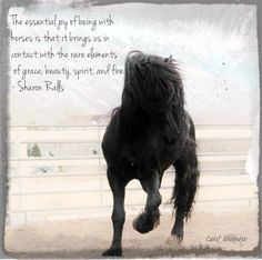 """The essential joy of being with horses is that it brings us in contact with the rare elements of grace, beauty, spirit and fire."" ~Sharon Ralls. Carol Whitaker's Apollo, Ster Friesian stallion at Royal Grove Stables. #Equine #Equestrian #Quote"