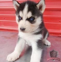 Siberian Husky (plus new residence that allows puppys and a sled so Tim can go to work in the winter months.