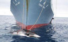 F.G. Saraiva: Aprovada cota de caça a baleias na Groelândia