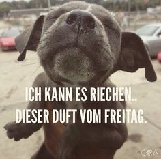 with show nut - Sprüche - Hunde Funny Images, Funny Pictures, Funny Animals, Cute Animals, Weekday Quotes, Funny Picture Quotes, I Love To Laugh, Funny Facts, Man Humor