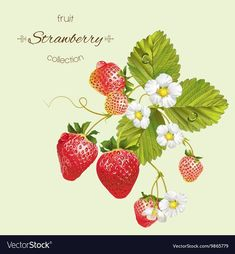 vector realistic illustration of strawberry with leaves and flowers. isolated on light green background. design for grocery farmers market tea natural cosmetics aromatherapysummer design element. Strawberry Clipart, Strawberry Tattoo, Strawberry Drawing, Strawberry Leaves, Strawberry Flower, Strawberry Garden, Strawberry Plants, Plant Illustration, Botanical Illustration