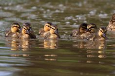 Look at these beauties.  Thanks again to Jana Melichar for this fabulous pic of the ducklings at Charlecote Park, Warwickshire. May 2014