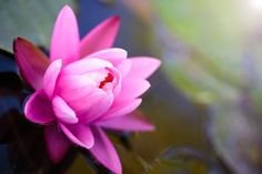The Lotus Symbol: Origin and Meaning