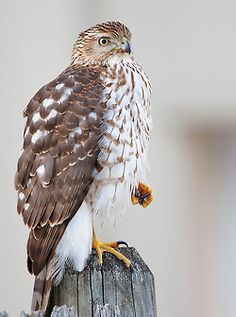 """""""I could picture it, provided I could spend my time outdoors. Imagine the parasites and predators and uncouth species I could take out with a well- trained Cooper's hawk."""""""