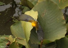 Fandango by Andrea Cowart on Capture Memphis // Pronothotary taking off from the Lilly pad. they are just so spectacular