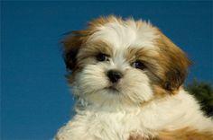 Shi Tzu puppies are adorable