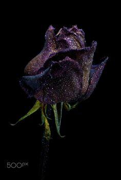 wet rose by Istvan Benedek Purple Roses, White Roses, Beautiful Rose Flowers, Gothic Flowers, Unusual Flowers, Aesthetic Roses, Rainbow Roses, Flower Images, Flower Wallpaper
