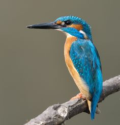 Common kingfisher / カワセミ(翡翠、翡翆、魚狗、川蟬、学名:Alcedo atthis)は、ブッポウソウ目カワセミ科カワセミ属に分類される鳥の一種。