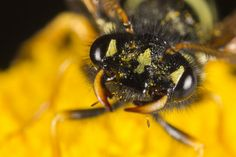 sawfly on a yellow flower. Taken near Amay AO Italy.