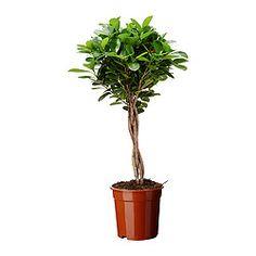 IKEA FICUS MICROCARPA MOCLAME potted plant