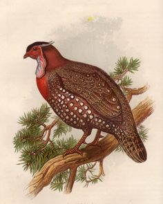 Partridge From Cassells book of birds : from the text of Dr. Brehm