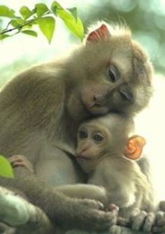 A Tender Moment - The Japanese Macaque (snow monkey) is a terrestrial Old World monkey species native to Japan.