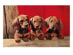 Your cute little Dachshund puppy is home - congratulations now one of the most important things to do is to learn how to potty train a Dachshund puppy. You would be wise to do so ASAP because without the correct information a Dachshund can be hard. Dachshund Funny, Dachshund Puppies, Weenie Dogs, Dachshund Love, Cute Puppies, Cute Dogs, Dogs And Puppies, Doggies, Dachshund Rescue