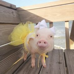 21 adorable pictures of the mini-pig brother and sister that are too cute to believe! Happy Animals, Cute Baby Animals, Funny Animals, Farm Animals, Cute Baby Pigs, Cute Piglets, Miniature Pigs, Small Pigs, Teacup Pigs