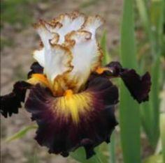 Iris 'Superhero'
