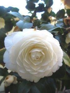 Nuccio's Gem Camellia Japonica