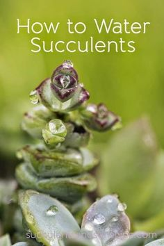 How to Water Succulent Plants