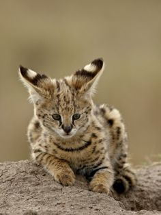Serval (Felis Serval) Cub on Termite Mound, Masai Mara National Reserve, Kenya, East Africa Photographic Print by James Hager at AllPosters.com