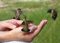feeding humming birds