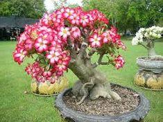 Resultado de imagem para jardinagem dicas rosa do deserto