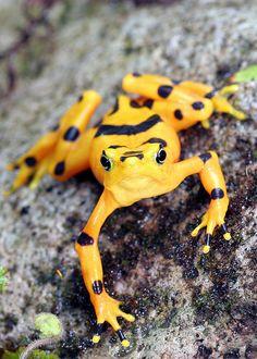 Atelopus zeteki, Panamanian Golden Frog, in habitat. IUCN Redlist: Critically Endangered.  Provincia Cocle', Panama.