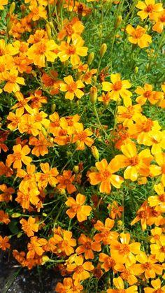 Tagetes tenuifolia - Aksamitnik jemnolisty