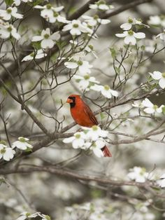 Close up of cardinal in blooming tree