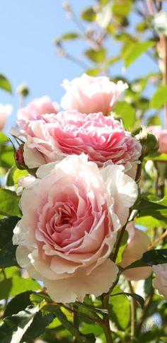 क्षण प्रेमाचे ....!!!!!!!!!!!!!!!!!: Burst of roses .