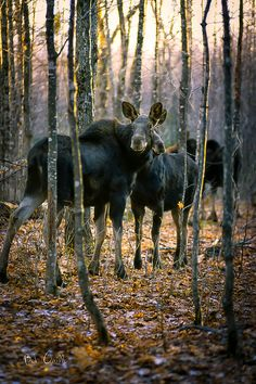 Gathering of female Moose In small wilderness clearing de northern end of de Appalachia Trail