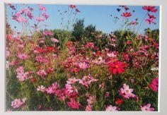 5x7 photo of pink  wild flowers cosmos garden by RoadAheadPhotos