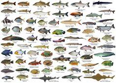 Freshwater Aquarium, Aquarium Fish, Ocean Ecosystem, Fish Drawings, Pet Fish, Types Of Fish, Rare Animals, Exotic Fish, Fish Art
