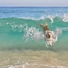 A dog body surfing.  Repost from @coastalwatch #dog #puppy #surfing
