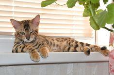 TOP 35 Bengal kittens (24)
