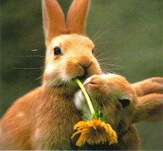Bunnies eating a dandelion