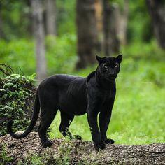 black panther animal Top 14 Big Cat Species in India - Popular amp; Black Animals, Cute Animals, Puma Animal Black, Wild Animals, Beautiful Cats, Animals Beautiful, Big Cat Species, Black Panther Cat, Big Cat Family