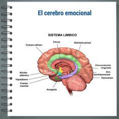 ¿Donde se gestionan las emociones?