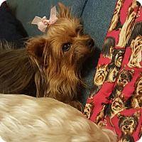 Yorkie, Yorkshire Terrier Dog for adoption in Staten Island, New York - Ballerina