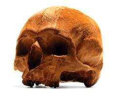 Life-Size Anatomically Correct Chocolate Skulls
