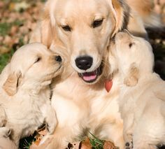 Golden retrievers, adult with two loving cubs.  Makes me so happy to see this!