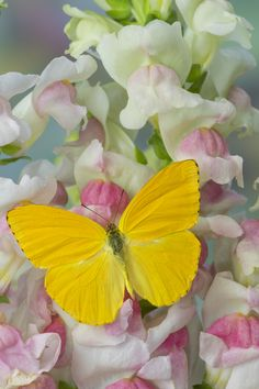 Small Sulfur Butterfly on snapdragon flowers