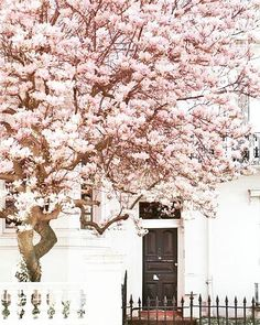 B L O O M I N G B E A U T Y   In #nottinghill #london the streets are decorated with pink delights!  #cherryblossom #beauty #statement #door #streetfashion #jonquil #organic #cotton #sheets #sleep #dream #travel #startup