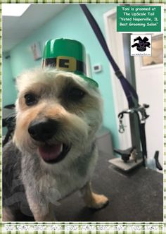 15 best st patricks day pet grooming at the upscale tail all breed grooming at the upscale tail voted naperville il pet best grooming salon solutioingenieria Image collections