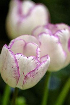 Resultado de imagem para tulips
