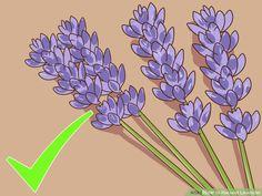 Image titled Harvest Lavender Step 1