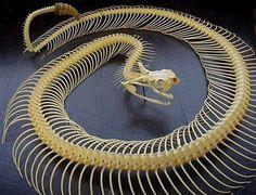 Snake Skeleton