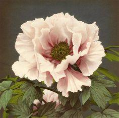 Ogawa (FLE0001)  Etude de fleurs, Japon 1893. Collotype réhaussé à l'aquarelle. 23 x 28 cm. FLE0001  Prix : 490.00€