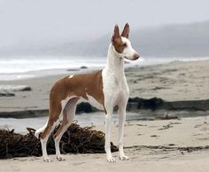 "This is actually my Ibizan hound ""Bunny""!"