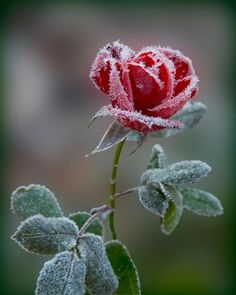 I walk through the glistening virgin snow~    Where I find in a field a frozen rose  ~    Its beauty held ageless in winter's breath.....