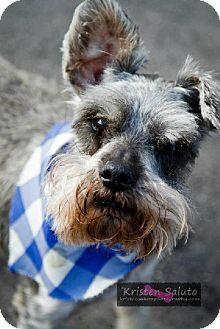Mission, KS - Schnauzer (Miniature) Mix. Meet Molly a Dog for Adoption.